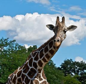 Click here for a photo of the new Baby Giraffe.