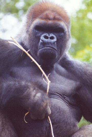 Click here for the Western Lowland Gorilla at Como Park Zoo.
